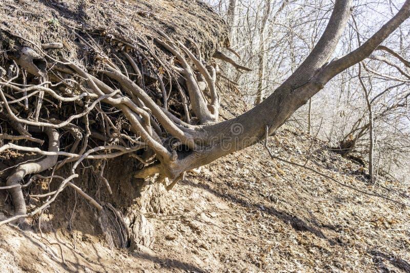 Grande árvore e raizes que crescem para fora lateralmente de um monte íngreme foto de stock royalty free