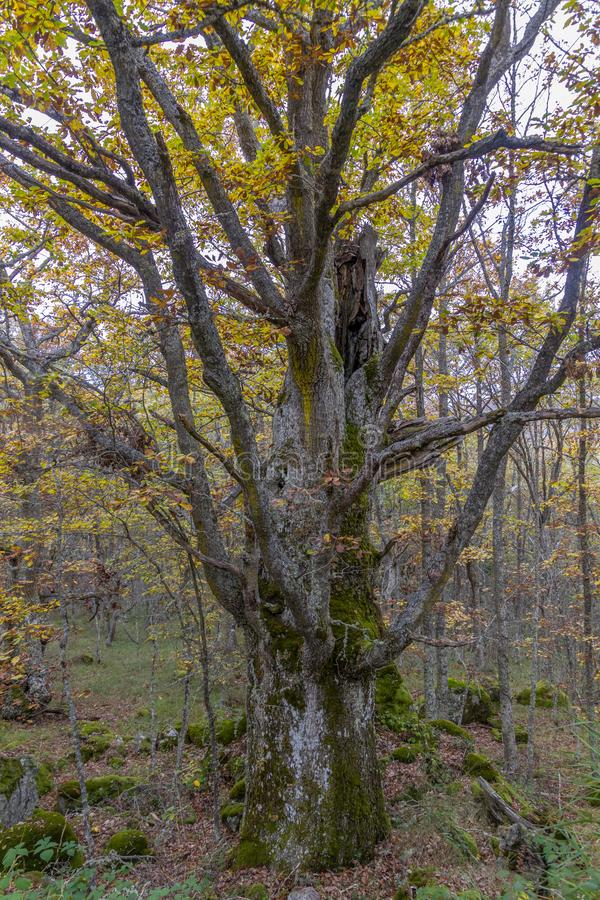 Grande árvore no outono fotos de stock