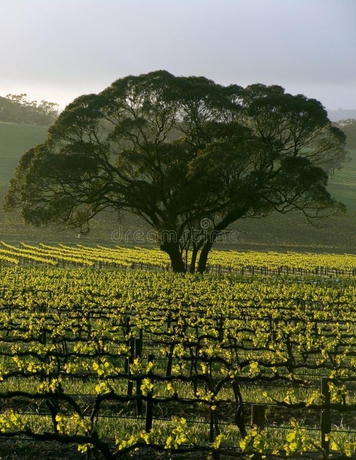 Grande árvore no vinhedo imagem de stock royalty free