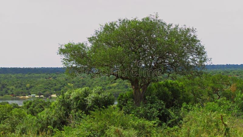 Grande árvore perto do cruzamento de balsa em Murchison Falls P nacional imagem de stock