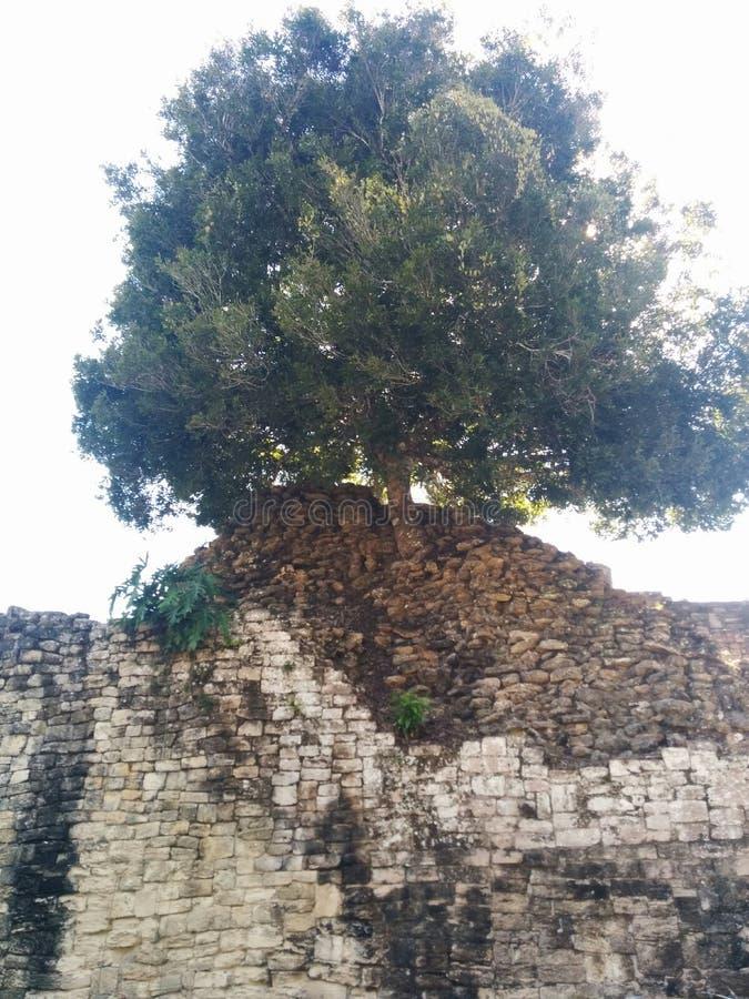 Grande árvore que cresce na estrutura em ruínas maias de Kohunlich fotografia de stock royalty free