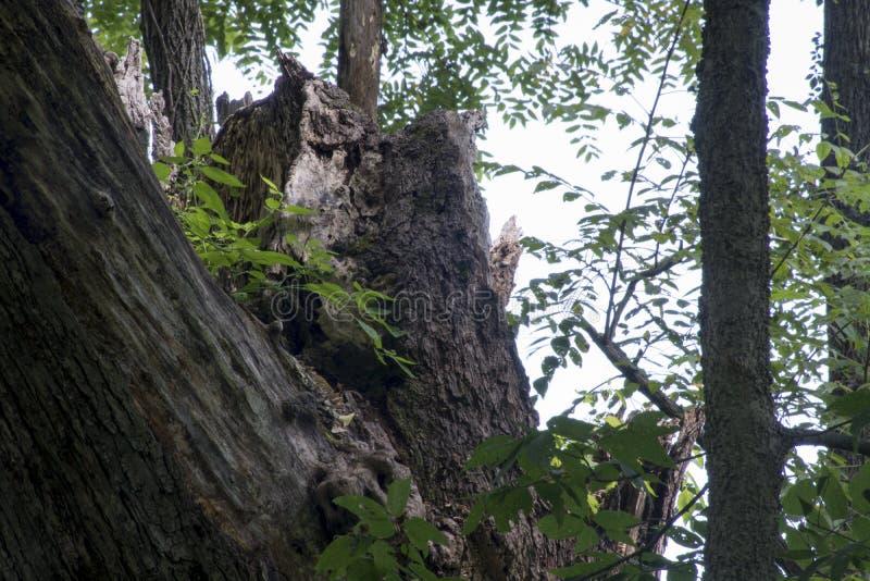 Grande árvore quebrada fotos de stock