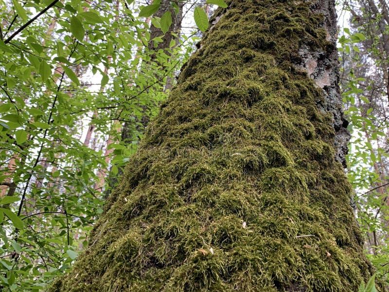 Grande árvore velha com musgo Moisés cresce sobre um tronco arbóreo na floresta - carvalho-majestoso entre as árvores do parque imagem de stock royalty free