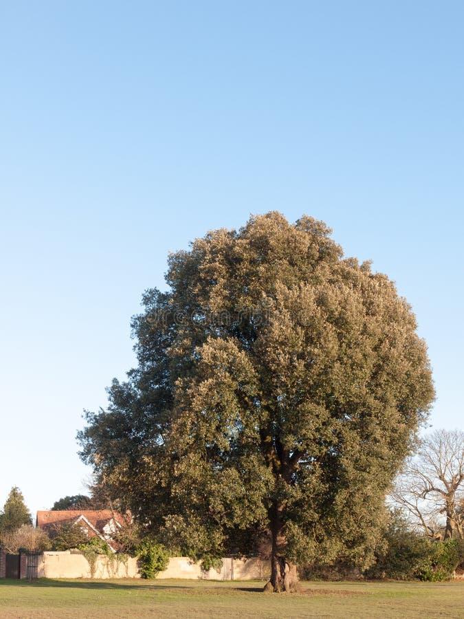 grande árvore verde alta na terra do parque do campo fora da natureza imagens de stock