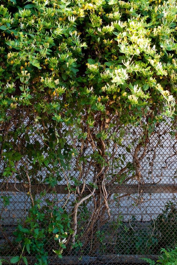 Grande árvore verde do arbusto com folhas verdes contra uma parede de tijolo de pedra cinzenta, verão da mola da grama imagem de stock royalty free