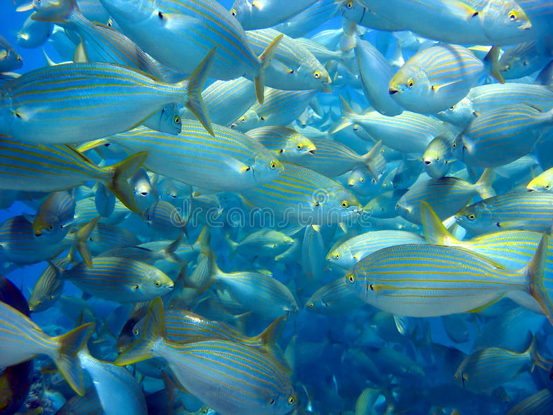 Grande école des poissons image libre de droits
