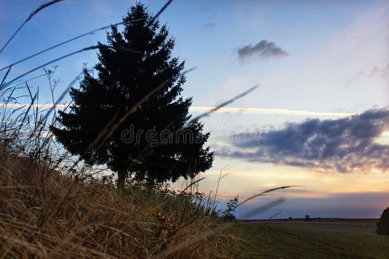 Grande único pinheiro contra o céu colorido do nascer do sol do por do sol foto de stock royalty free