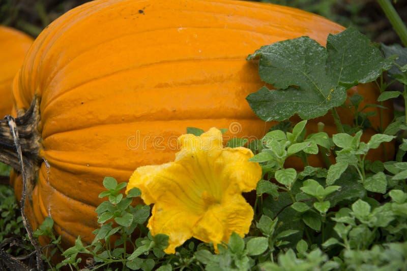 Grande abóbora com flor imagens de stock