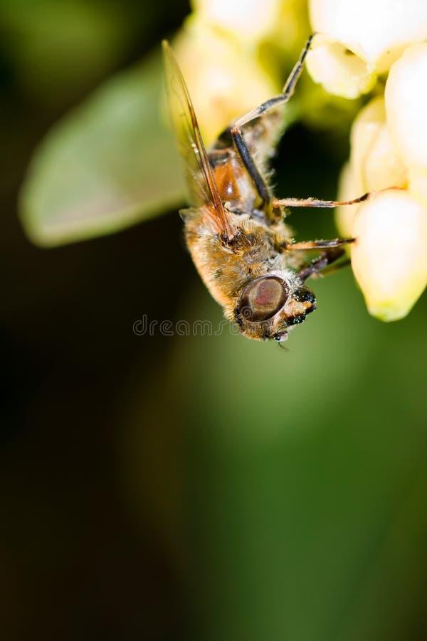 Grande abeille photos stock