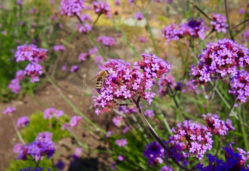 Grande abeille de miel sur une fleur bleue de floraison photos libres de droits