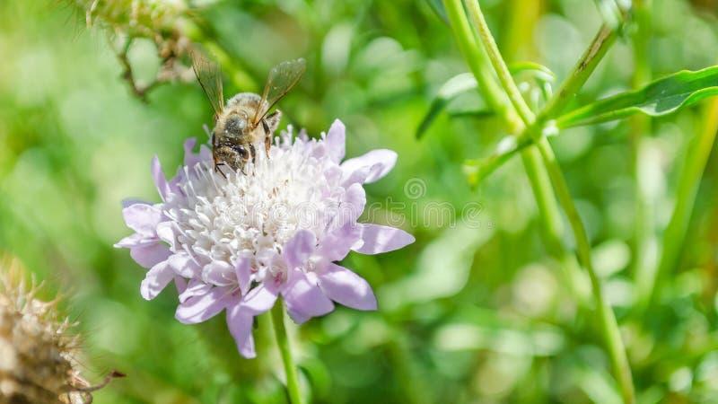 Grande abeille en fleur pourpre, naturelle images libres de droits