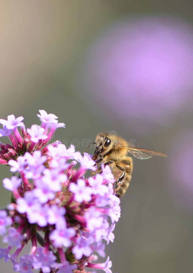 Grande abeille observée de miel sur la verveine pourpre avec le fond de bokeh image stock