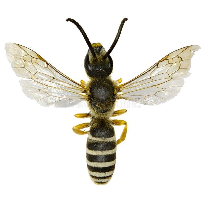 Grande abelha unida do sulco no branco imagem de stock