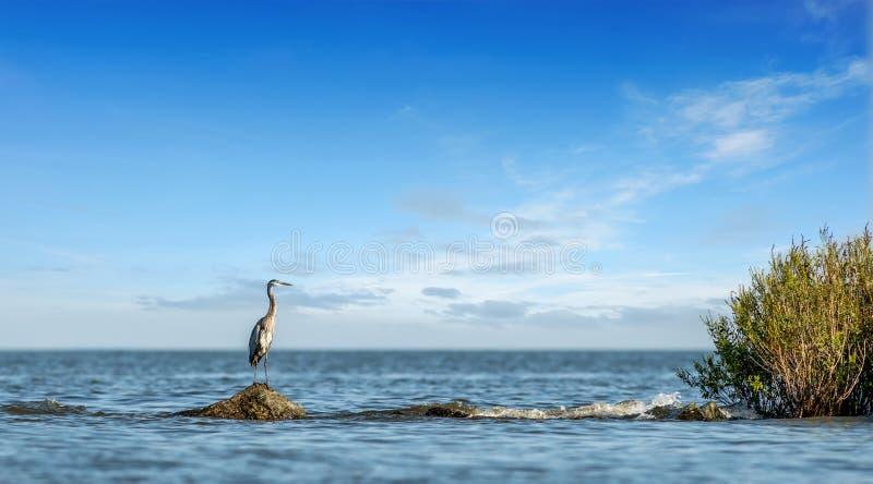 Grande airone blu che sta su un molo della roccia che guarda fuori sopra la baia di Chesapeake fotografia stock