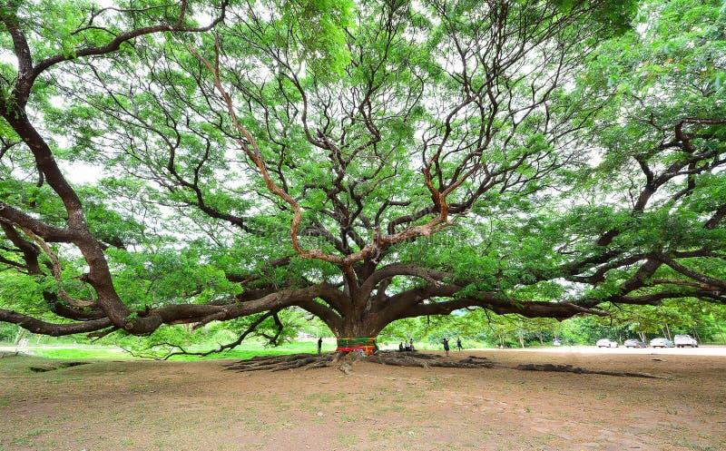 Grande albero fotografia stock libera da diritti