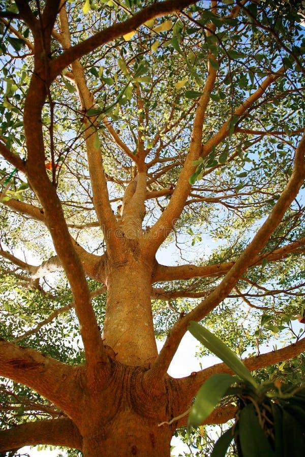 Grande albero fotografie stock libere da diritti