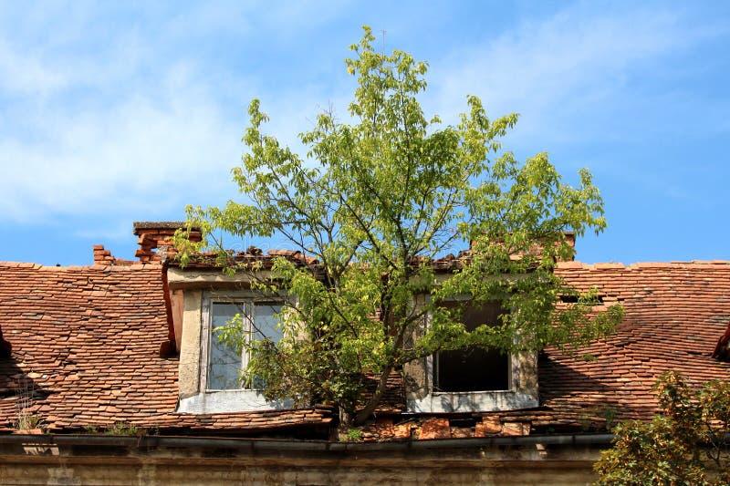 Grande albero che cresce dalla grondaia arrugginita del metallo fra due finestre distrutte del tetto e le mattonelle di tetto rot immagine stock libera da diritti