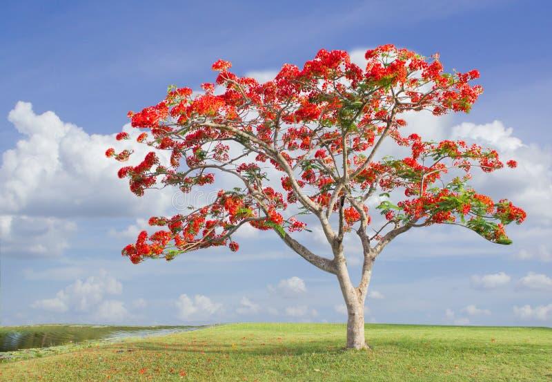 Grande albero con i fiori rossi nella sosta fotografia for Albero con fiori blu