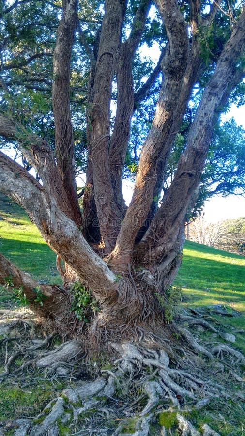 Grande albero con le radici Gnarly fotografia stock