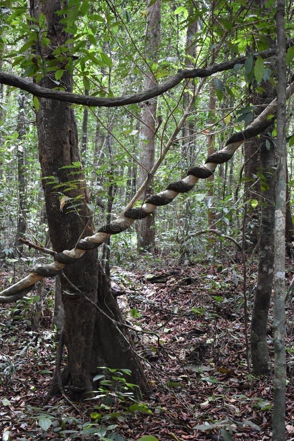 Grande albero con una liana torta intorno il tronco sulla traccia di escursione alla cresta del drago nel NAK di Khao Ngon in Kra immagine stock