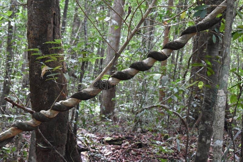Grande albero con una liana torta intorno il tronco sulla traccia di escursione alla cresta del drago nel NAK di Khao Ngon in Kra fotografia stock