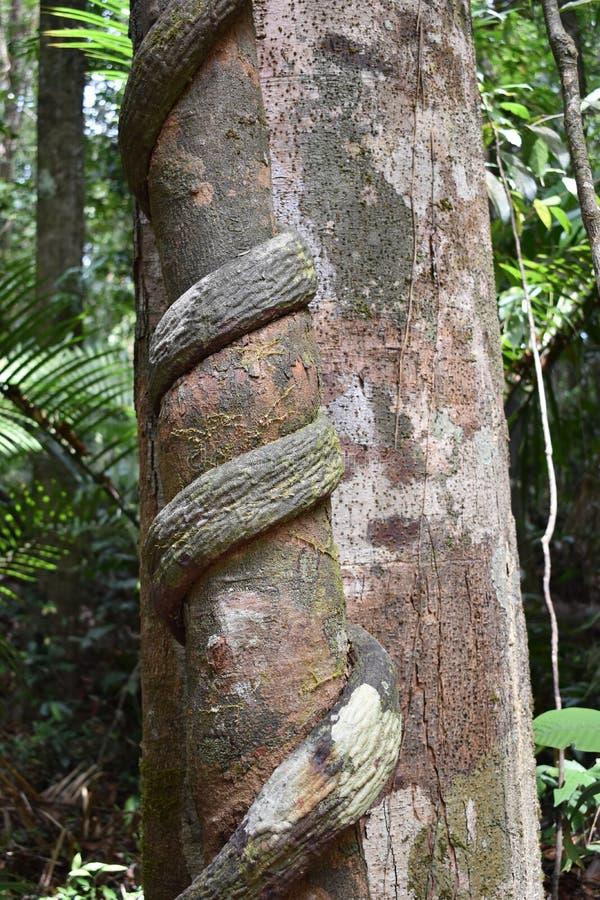 Grande albero con una liana torta intorno il tronco sulla traccia di escursione alla cresta del drago nel NAK di Khao Ngon in Kra immagini stock libere da diritti