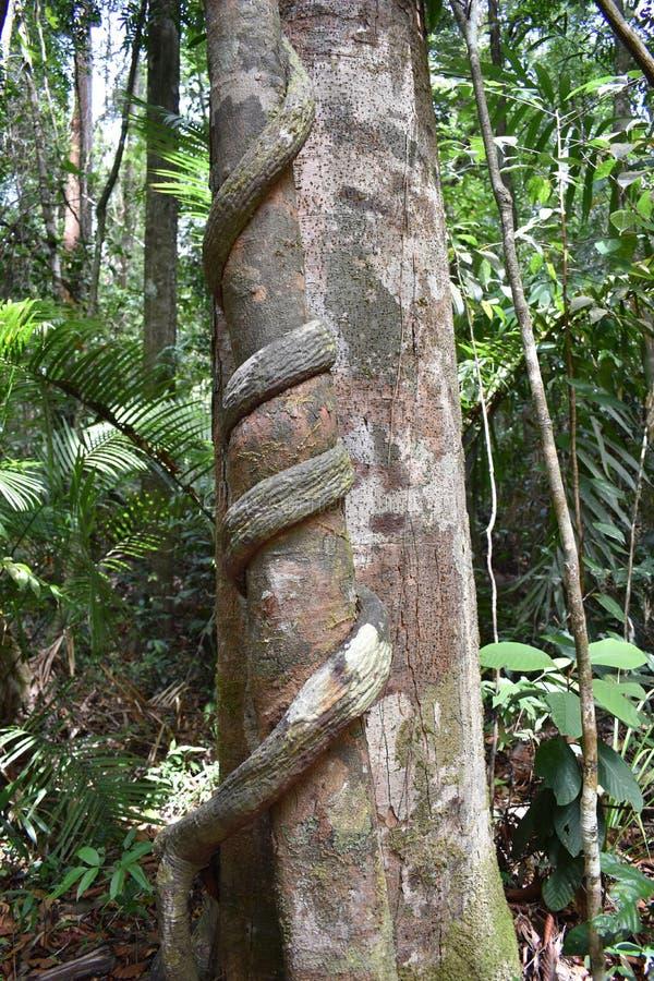 Grande albero con una liana torta intorno il tronco sulla traccia di escursione alla cresta del drago nel NAK di Khao Ngon in Kra immagine stock libera da diritti