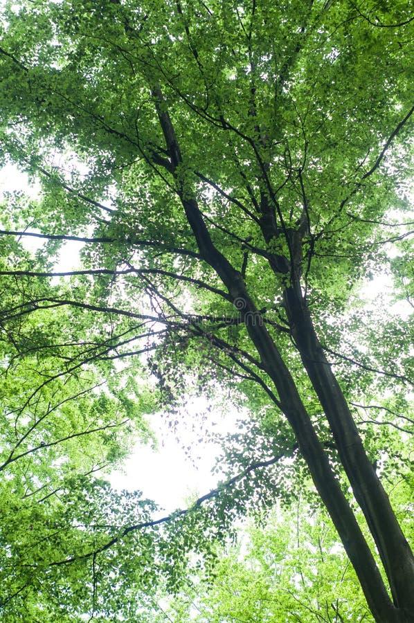 grande albero del carpino nella foresta fotografie stock libere da diritti