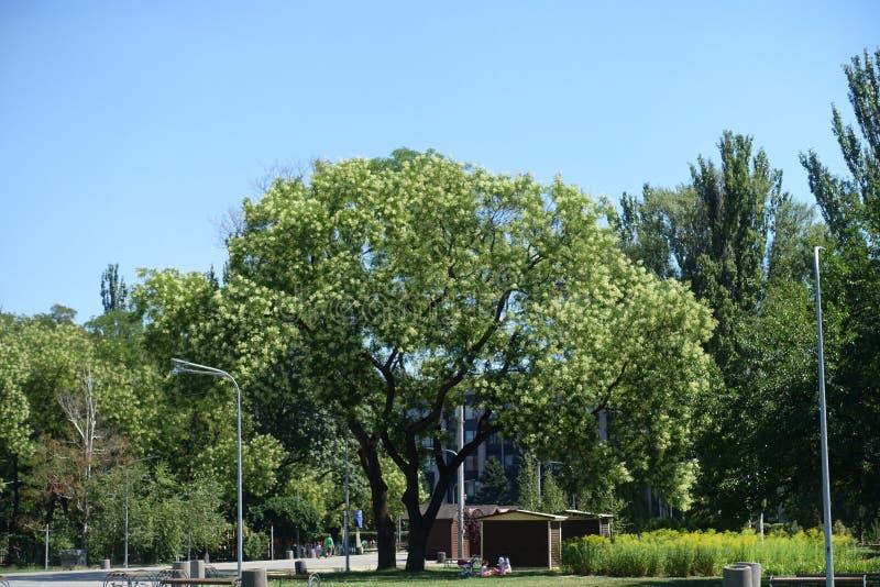 Grande albero del sophora japonica nel parco fotografia stock libera da diritti
