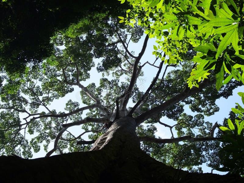 Grande albero della foresta pluviale immagini stock