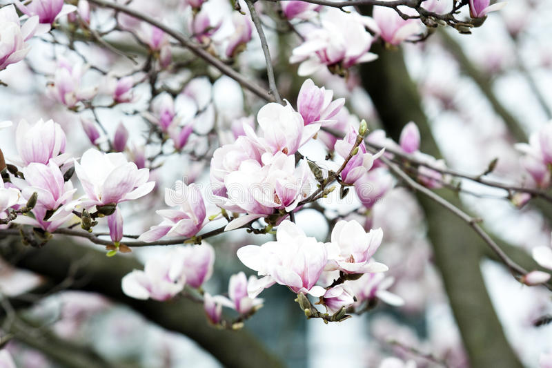 Grande albero della magnolia con i fiori fotografia stock for Albero con fiori blu
