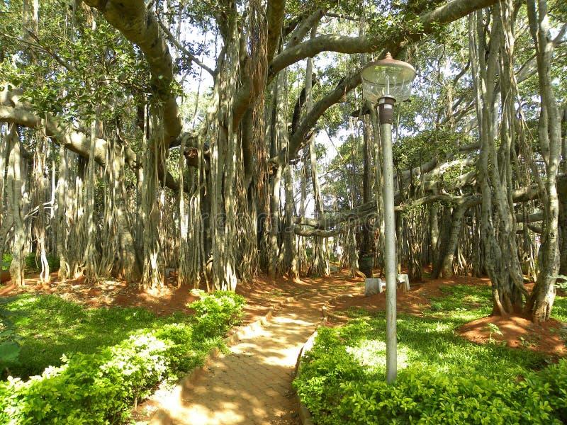 Grande albero di banyan con le radici aeree che escono dai gambi fotografia stock libera da diritti