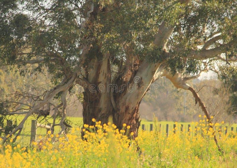 Grande albero di gomma in un'azienda agricola in Victoria fotografia stock libera da diritti