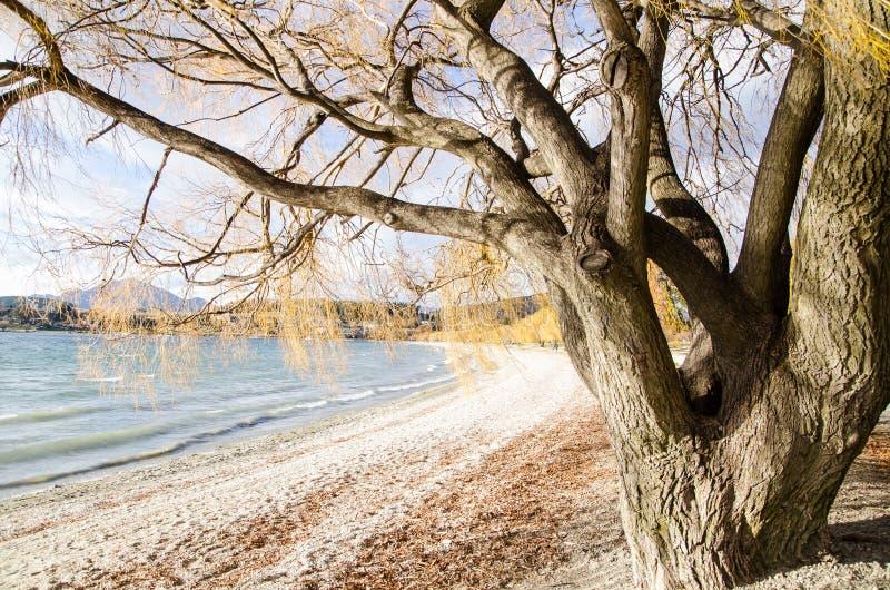 Grande albero di inverno vicino ad una bella spiaggia all'isola del sud, Nuova Zelanda fotografie stock
