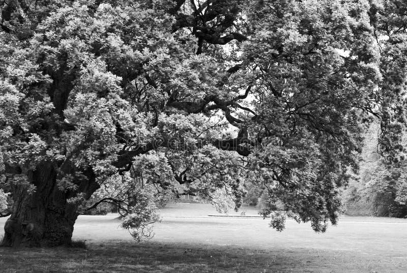 Grande albero di quercia solo in bianco e nero immagini stock
