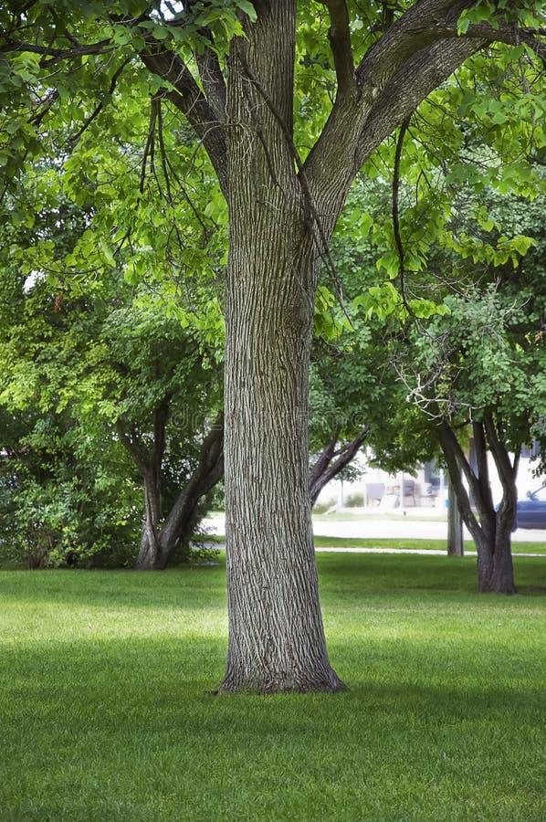 Grande albero di schermo del Cottonwood in una sosta della città fotografie stock libere da diritti