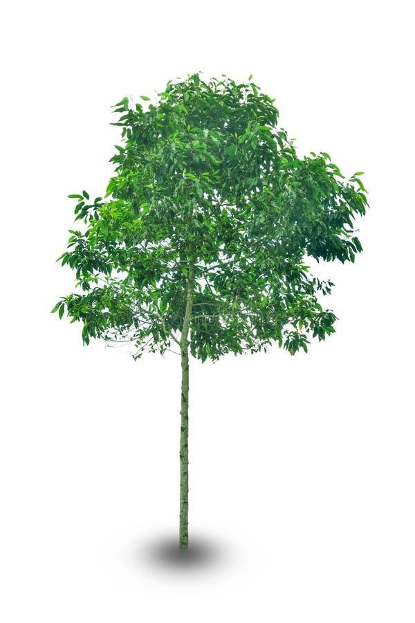 Grande albero isolato su fondo bianco immagine stock libera da diritti