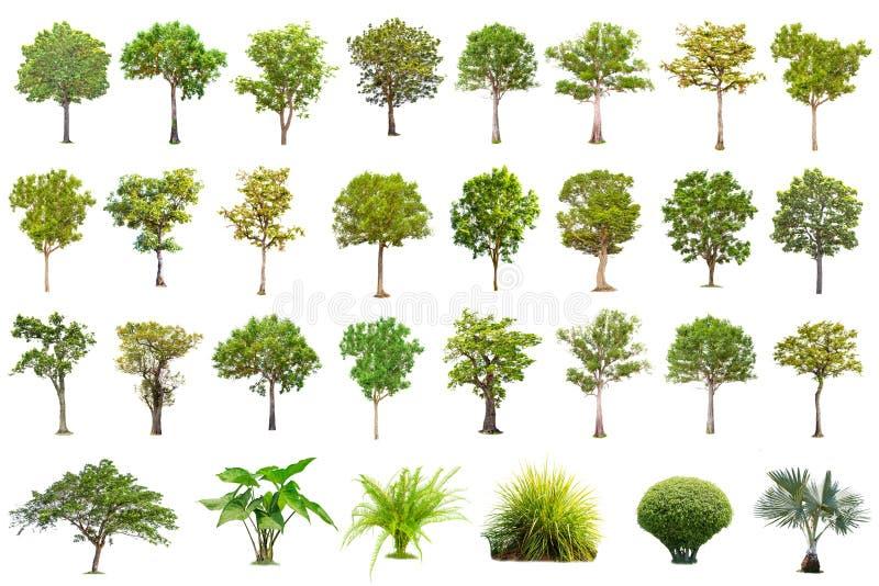 Grande albero isolato su fondo bianco, la raccolta degli alberi fotografia stock libera da diritti