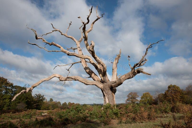Grande albero morto fotografia stock libera da diritti