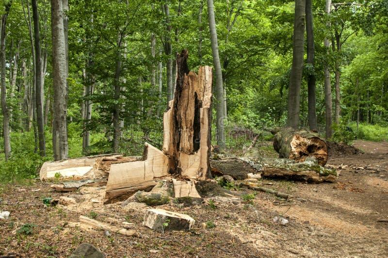 Grande albero rotto e marcio fotografia stock libera da diritti