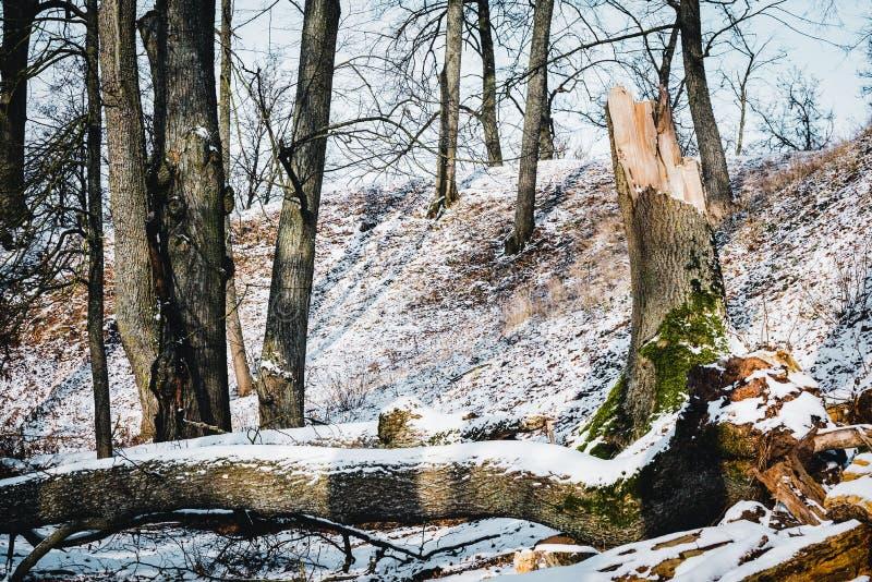 Grande albero rotto nell'inverno immagine stock