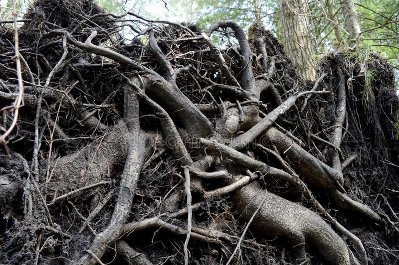 Grande albero sradicato fotografie stock libere da diritti