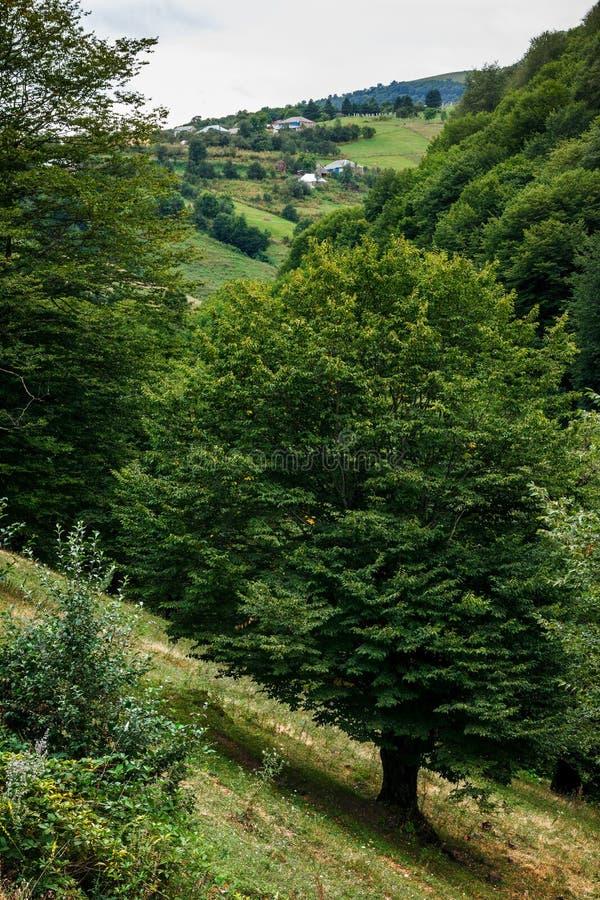 Grande albero sul pendio dalla strada che conduce al paesino di montagna fotografie stock libere da diritti