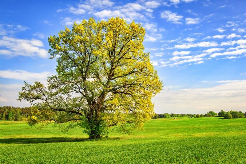 Grande albero verde sul prato della molla nel giorno soleggiato luminoso Bella natura della molla albero pittoresco sul campo ver fotografie stock libere da diritti