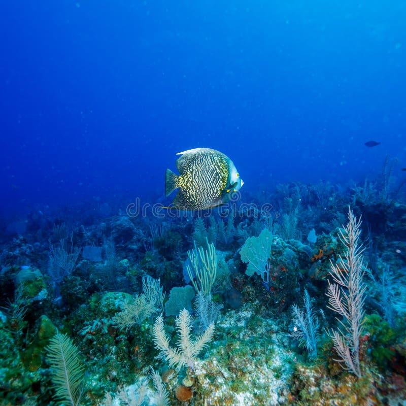 Grande angelo di mare francese (paru del Pomacanthus) vicino a corallo, largo di Cayo, fotografia stock