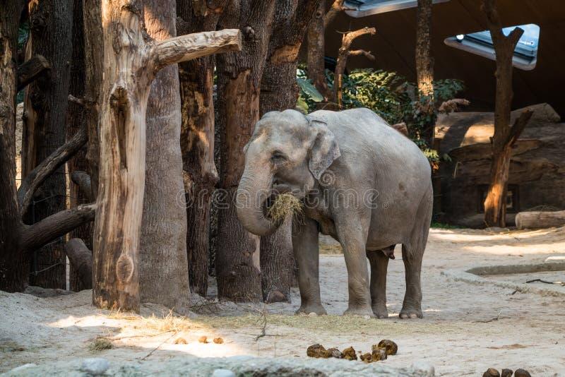 Grande, animale grigio che sta davanti agli alberi con paglia nel suo TR immagini stock libere da diritti