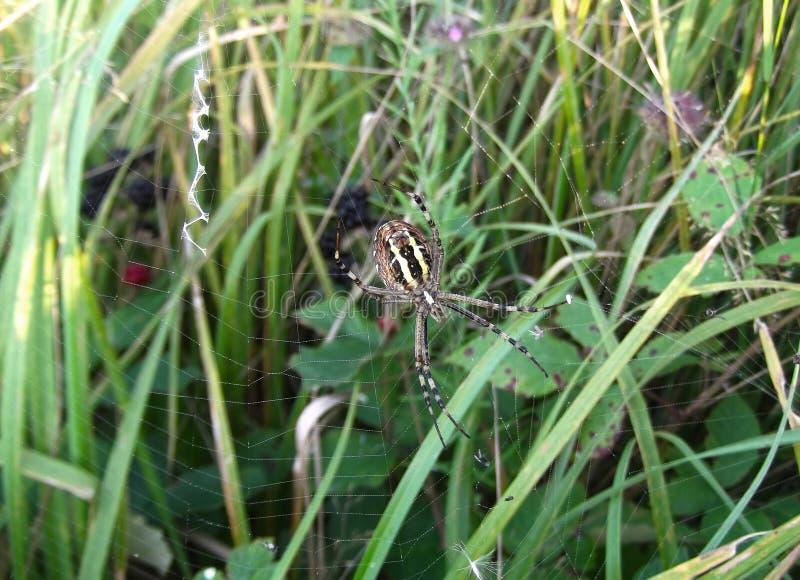 Grande araignée dans l'herbe image stock