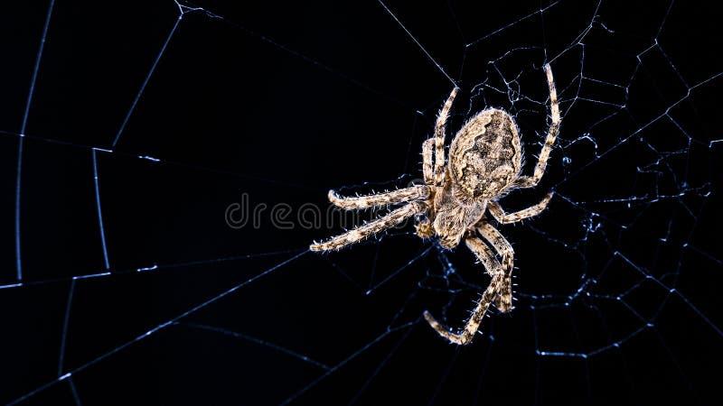 Grande araignée de pont sur la toile d'araignée dans le clair de lune de nuit Sclopetarius de Larinioides, Araneidae photos stock