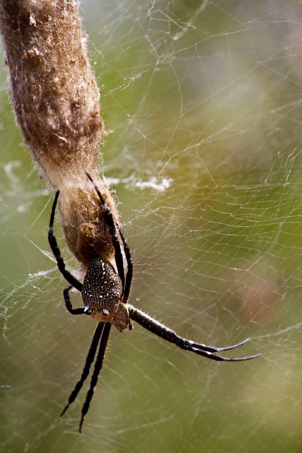 Grande araignée noire photos stock