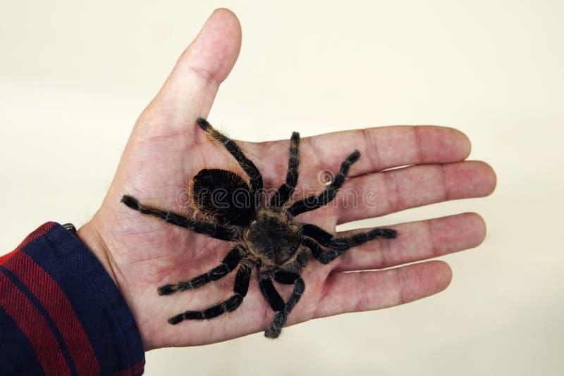grande araignée noire sur la paume de la main d'un homme Un homme tenant une tarentule d'araignée images libres de droits